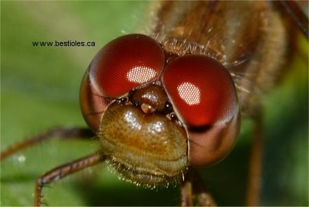 L 39 ordre des odonates - Animaux a gros yeux ...