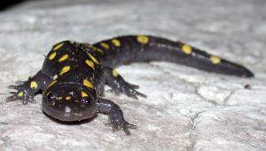Photo de salamandre tachetée