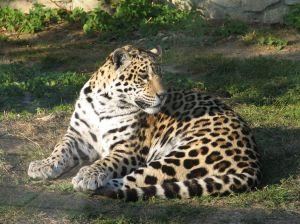 Jaguar on On Dit Une Femelle Ou Un B  B   Jaguar