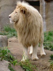 http://www.bestioles.ca/felins/images/lion-blanc.jpg