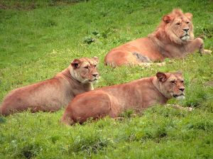 Photo de lions dans l'herbe