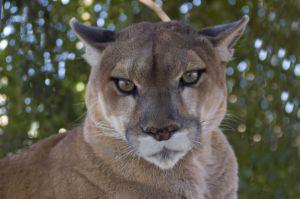 Photo de Puma ou cougar