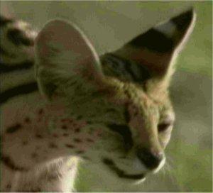 Photo de la tête d'un serval