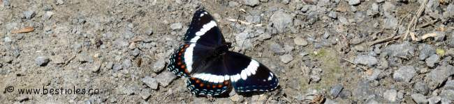 Photo d'un amiral (Limenitis arthemis)