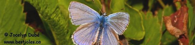 Photo de papillon azure estival