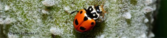 Photo d'une coccinelle des friches