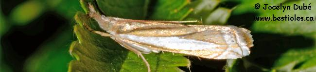 Photo d'un papillon du genre Crambus