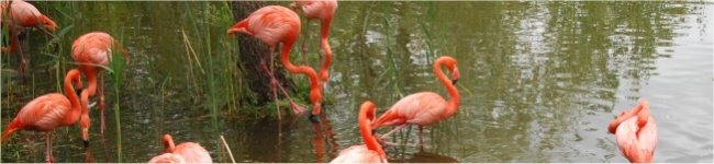 Photo de flamants roses