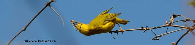 Photo d'un oiseau jaune