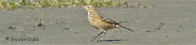 Photo de pipit d'Amérique