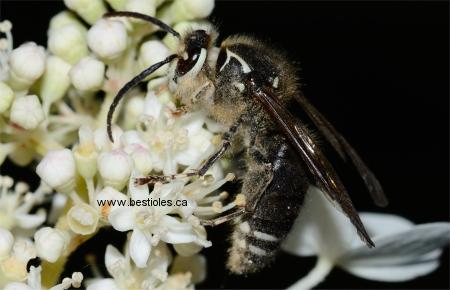 Photo d'une guêpe à taches blanches - Dolichovespula maculata