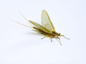 les ph m res ou mannes petits insectes volants. Black Bedroom Furniture Sets. Home Design Ideas