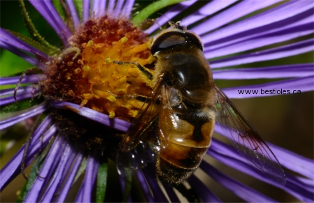 Photo d'éristale (Eristalis arbustorum)