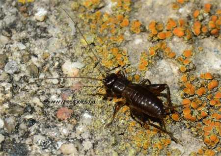 L 39 ordre des orthopt res - Reconnaitre les insectes xylophages ...