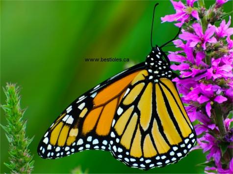 Le papillon monarque - Duree de vie papillon de nuit ...