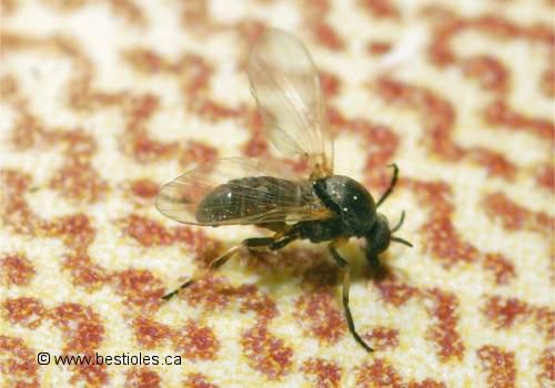 Les mouches noires famille simuliidae - Pourquoi les mouches piquent ...