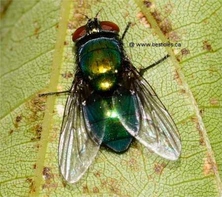 La mouche domestique - Invasion de mouches vertes ...