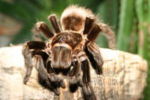 la mygale est la plus grosse araign e. Black Bedroom Furniture Sets. Home Design Ideas