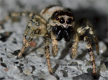 L 39 araign e tisse des toiles for Araigne sauteuse maison
