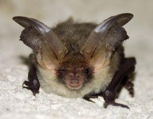 Gestation Chauve Souris chauve souris mammifères volants