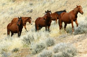 Photo de chevaux sauvages (mustang)