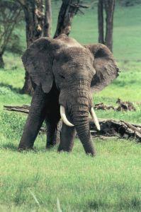 Photo d'un éléphant d'Afrique