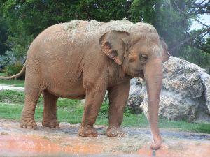 Photo d'un éléphant d'Asie