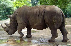 De A à Z .. - Page 3 Rhinoceros