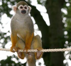 Le singe cureuil ou sa miri - Le singe d aladdin ...