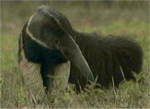 Le tamanoir est un fourmilier - Animal qui mange les fourmis ...