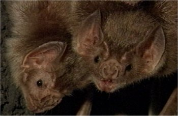 Gestation Chauve Souris la chauve souris vampire