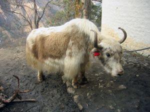 Photo d'un yack - yak