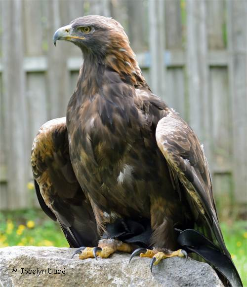 Bien connu L'aigle royal BN99