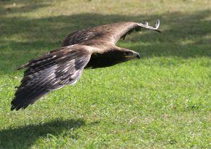 L 39 aigle est un oiseau de proie - Jeux d oiseau qui vole ...