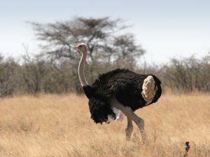 L 39 autruche un gros oiseau qui ne vole pas - Jeux d oiseau qui vole ...