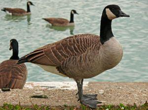 http://www.bestioles.ca/oiseaux/images/bernache.jpg