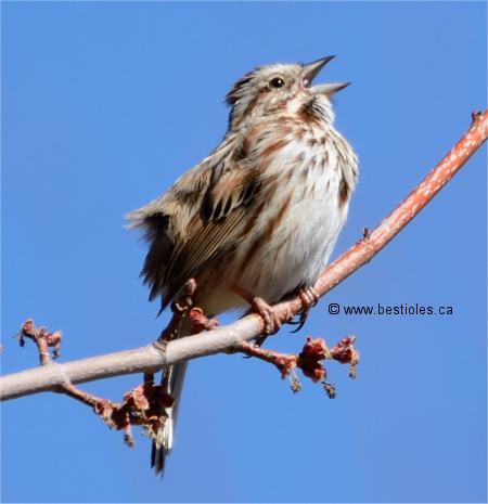 Le bruant chanteur melospiza melodia - Dessin oiseau qui chante ...