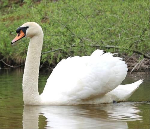 https://www.bestioles.ca/oiseaux/images/cygne-tubercule.jpg