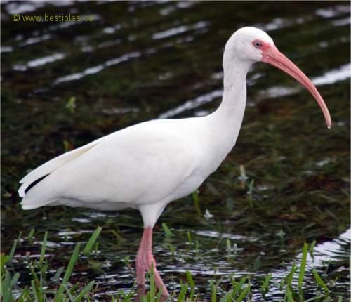 L 39 ibis blanc for Oiseau a long bec