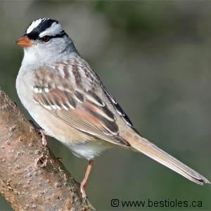 Le bruant un oiseau au plumage ray for Oiseau tete noire et blanche