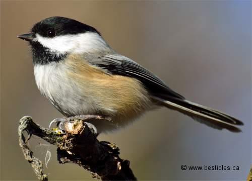 Les oiseaux passereaux for Oiseau tete noire