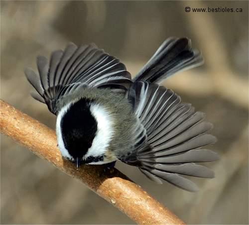 La m sange t te noire poecile atricapillus for Oiseau tete noire et blanche