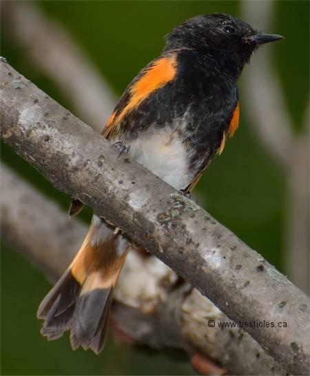 La paruline est un petit oiseau qui migre for Oiseau orange et noir