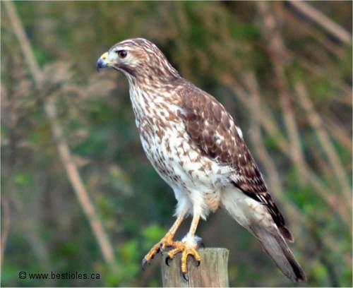 La petite buse buteo platypterus - Jardin des oiseaux petit quevilly ...