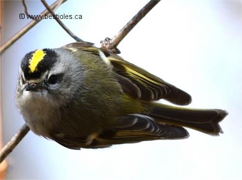 le roitelet est un oiseau insectivore. Black Bedroom Furniture Sets. Home Design Ideas