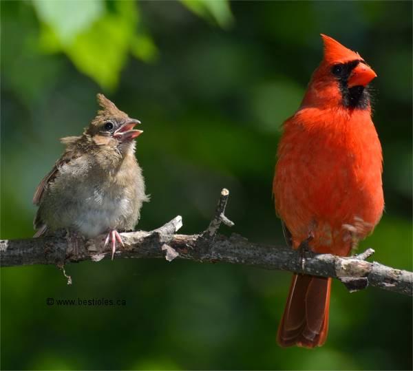 Photographies de cardinal rouge