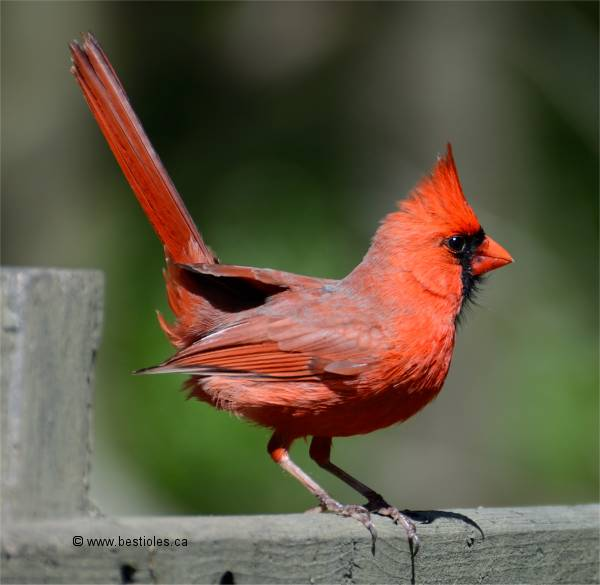 photographies de cardinal rouge