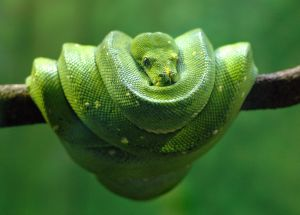 Photo d'un python sur une branche