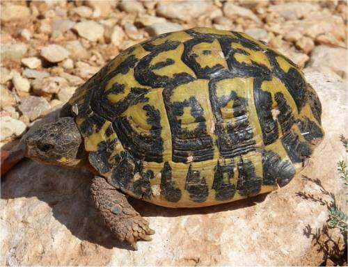 La tortue d 39 hermann - Images tortue ...